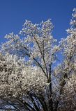 Springtime!. Bradford Pear Tree Blooms in the Spring Stock Photography