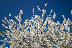 Springtime. White blossom against a clear blue sky Royalty Free Stock Image