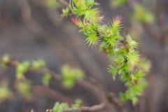 Springtime. Shrub opening up in springtime Stock Images