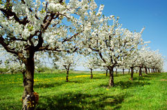 Springtime. Spring landscape with blossoming cherry-trees Stock Photography