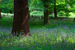 Springtime. Blooming Bluebells in the wood Stock Photography