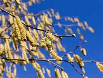 Springtime. Catkins Stock Images