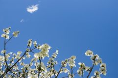 Springtime. Apple blossoms and a white cloud Royalty Free Stock Image