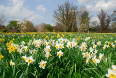 In Springtime. A field of daffodils in spring stock images