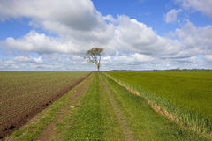Springtime agriculture. A lone ash tree with rural track pea field and barley field under a blue cloudy sky on the yorkshire wolds england in springtime Stock Image