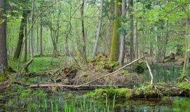 Springtime alder bog forest. Springtime wetland forest with standing water Royalty Free Stock Photos