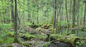 Springtime alder bog forest Stock Photo