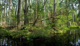 Springtime alder bog forest Stock Photography