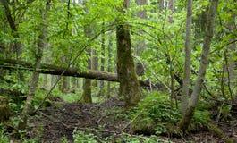 Springtime alder-bog stand Royalty Free Stock Photo
