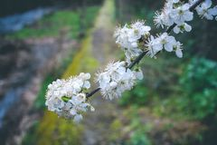 Almond tree flourished in Springtime royalty free stock image