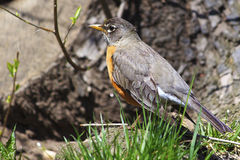 Springtime American Robin. An American Robin on the grass in Central Park during Spring Stock Photography