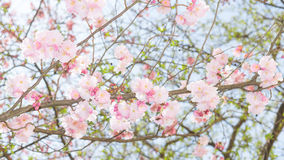 Springtime apple flowering tree with fresh leaves and pink flowe Royalty Free Stock Image