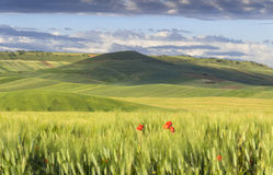 Springtime.Between Apulia and Basilicata: hilly landscape with green cornfields.ITALY. Stock Image