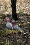 Bush scene with two Galahs on ground royalty free stock images