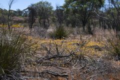 View of wildflowers in bush along the Gnamma trail. Springtime in arid landscape Hyden, Western Australia stock images