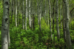 Springtime Aspens. Grove of aspen trees with blue bell flowers plenty of green with the sunlight filtering in the trees in the Wasatch National forest in Utah Stock Images