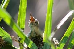 Springtime baby hummingbird Stock Image