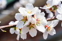 Flowering almond tree branch close. Springtime background with beautiful white almond flowers on blossoming tree Royalty Free Stock Photography