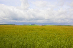 Springtime barley crop Royalty Free Stock Photo