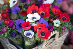 Free Springtime Beautiful Anemone Coronaria Flowers In Red, White, Magenta, Blue Colors. Stock Photos - 144699493