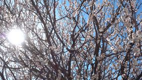 Springtime, beautiful blooming apricot tree at sunny day. Springtime, beautiful blooming apricot tree at sunny day, 4k qualitative video stock footage