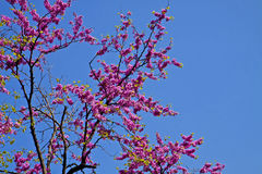 Springtime, beautiful bright pink flowers on Judas tree Royalty Free Stock Photography