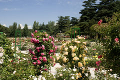 Springtime in beautiful rose garden Stock Photos