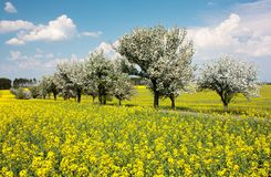 Springtime beautiful view of rapeseed field, alley of apple tree Stock Image