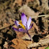 SPRINGTIME: Bees and the saffron/crocus royalty free stock images