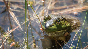 Springtime, big green bullfrog partially submerged in a pond waiting patiently for prey. Stock Image