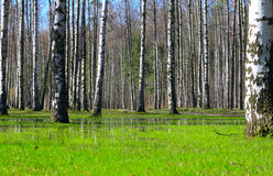 Springtime birch forest. Springtime wet deciduous forest with standing water and birch trees Royalty Free Stock Image