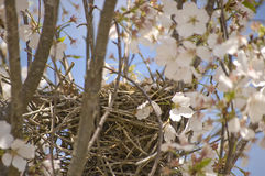 Springtime Bird Nest Royalty Free Stock Photo
