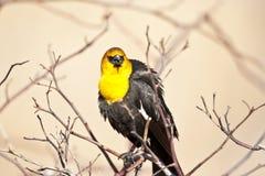 Yellow Headed Blackbird Royalty Free Stock Photos