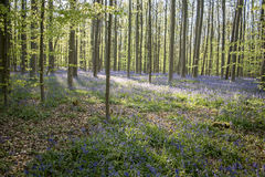 Springtime bloom in the blue forest Royalty Free Stock Images