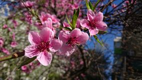Springtime blooming cherry tree flowers Stock Image