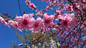 Springtime blooming cherry tree flowers Royalty Free Stock Images
