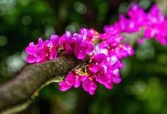Springtime blooming of judas tree, cercis siliquastrum Stock Image