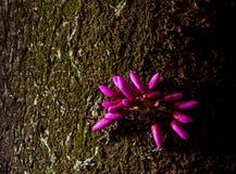 Springtime blooming of judas tree, cercis siliquastrum Royalty Free Stock Photography