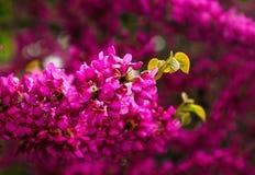 Springtime blooming of judas tree, cercis siliquastrum Stock Photography
