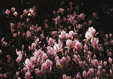 Springtime blooms of the pink magnolia bush Stock Photography