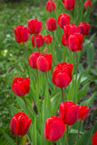 Springtime blossoming red tulips in the garden Royalty Free Stock Image