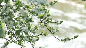 Springtime blossoming tree against the fast river. Spring blossoming tree fast river sunny stock footage
