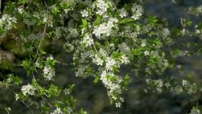 Springtime, blossoming tree, fast river stock video footage