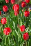 Springtime blossoming tulips Stock Photos