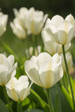 Springtime blossoming white tulips Royalty Free Stock Image
