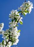 Springtime Blossoms Stock Image