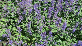 Springtime. blue catmint flowerbed in bloom. Springtime. blue catmint flowerbed in bloom stock footage