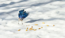 Springtime Blue Jay Cyanocitta cristata on melting corn snow,  attracted by offerings of peanuts, a favorite treat. Springtime Blue Jay Cyanocitta Stock Images