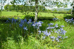 Springtime bluebells in the British countryside. Stock Image