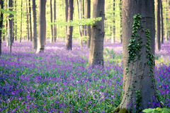 Springtime in the bluebells forest Royalty Free Stock Photos
